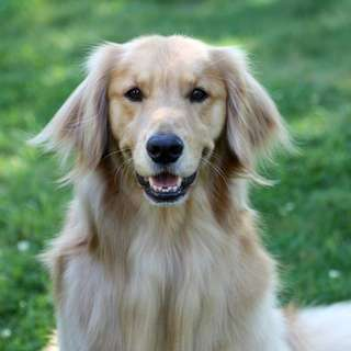 Bounty-golden-retriever-1a-580x870