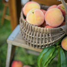 A Peach Orchard Dinner - Fresh Peaches