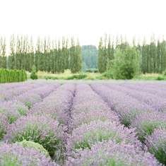 Woodinville Lavender Farm Dinner  - None